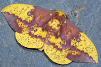 Imperial Moth (Eacles imperialis) Lifecycle