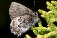 Hairstreaks—North America