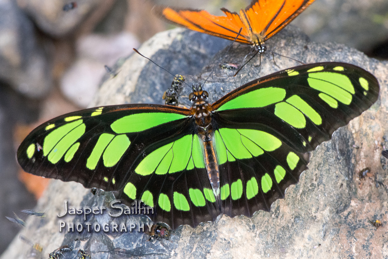 Jasper Sailfin Photography Longwing Butterflies