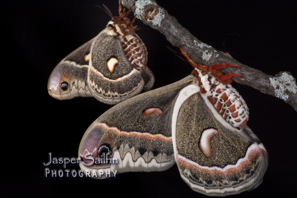 Columbia Moth (Hyalophora columbia columbia) female (top) with Cecropia Silkmoth (Hyalophora cecropia) male