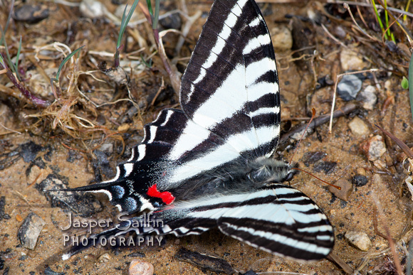 Zebra Swallowtail (Eurytides marcellus) spring form