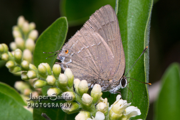 Strophius Hairstreak (Allosmaitia strophius)