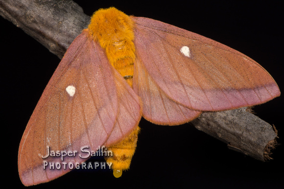 Pink-Striped Oakworm Moth (Anisota virginiensis) female