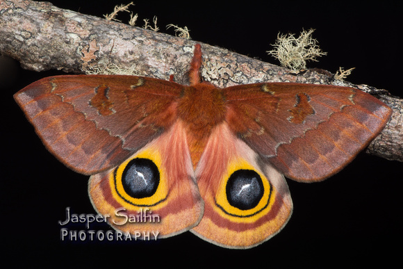 Florida Io Moth (Automeris io lilith) female
